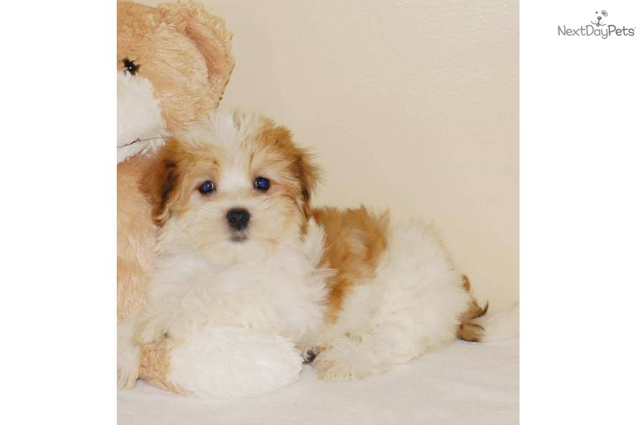meet jake a cute havanese puppy for sale for  445  jake   affordablepup com