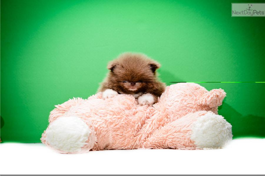 teacup pomeranian adoption for sale 200 teacup pomeranian