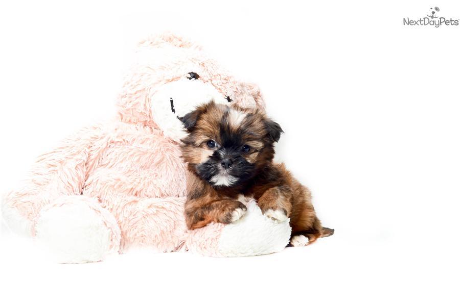 ... Teacup Bear a cute Shorkie puppy for sale for $395. Teacup Bear