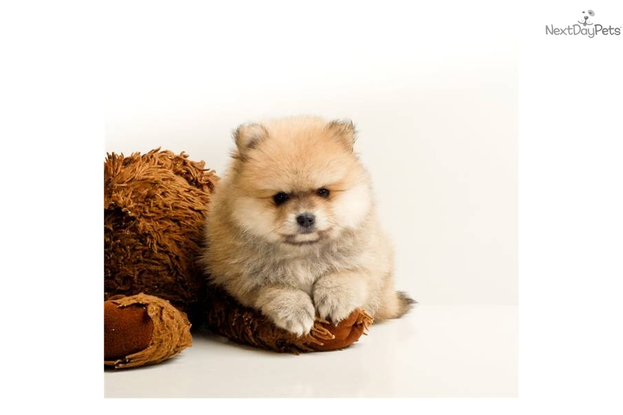 Pomeranian puppy for sale near Columbus, Ohio | 1fe33d13-a921