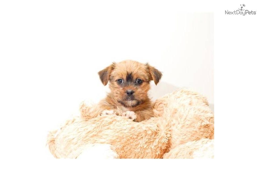Meet Teacup Carebear A Cute Mixed Other Puppy For Sale For