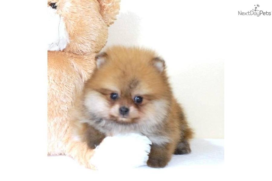 Meet Carebear a cute Pomeranian puppy for sale for $895 ...