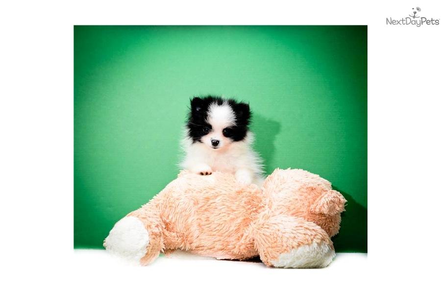 ... adoption pomsky dog husky puppies seattle siberian husky puppies for