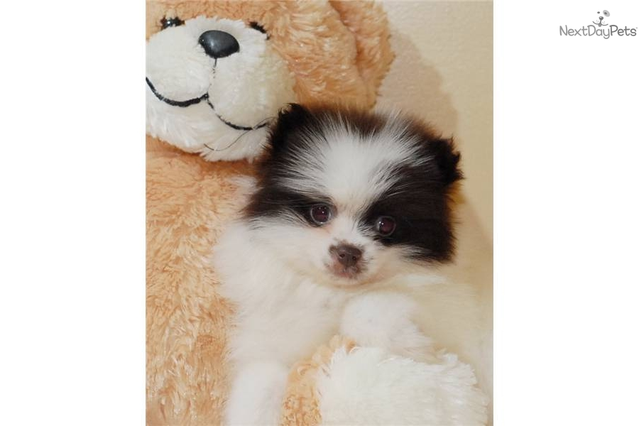 Meet Coc a cute Pomeranian puppy for sale for $495. Teacup ...