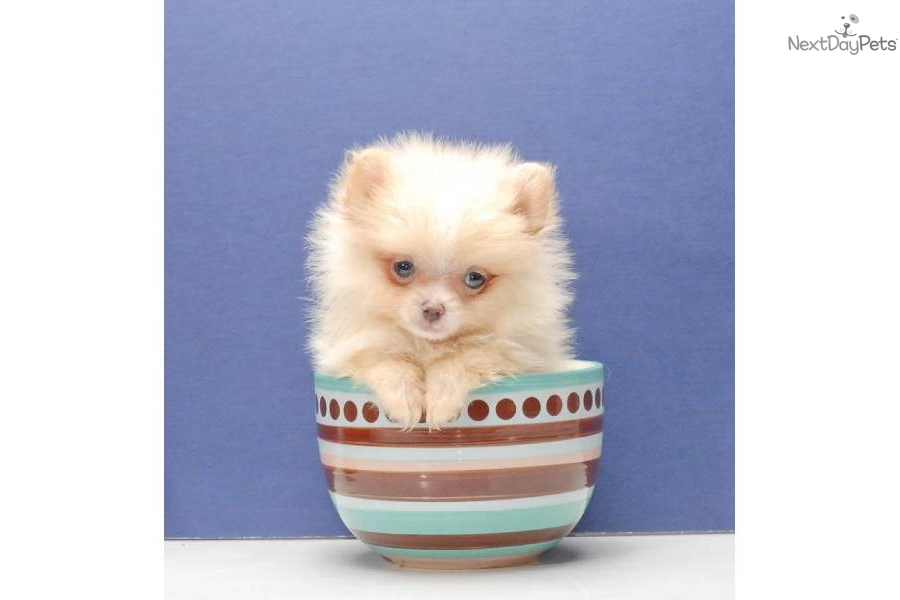 Meet Cream a cute Pomeranian puppy for sale for $995 ...