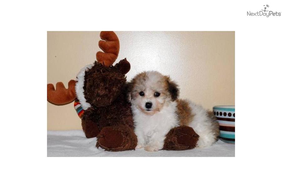 Havanese puppy for sale near Columbus, Ohio   87995b87-2ad1