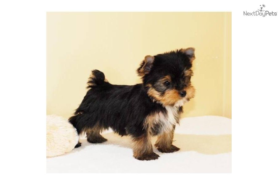 teacup yorkshire terrier puppies for sale in ohio picture dog breeds picture