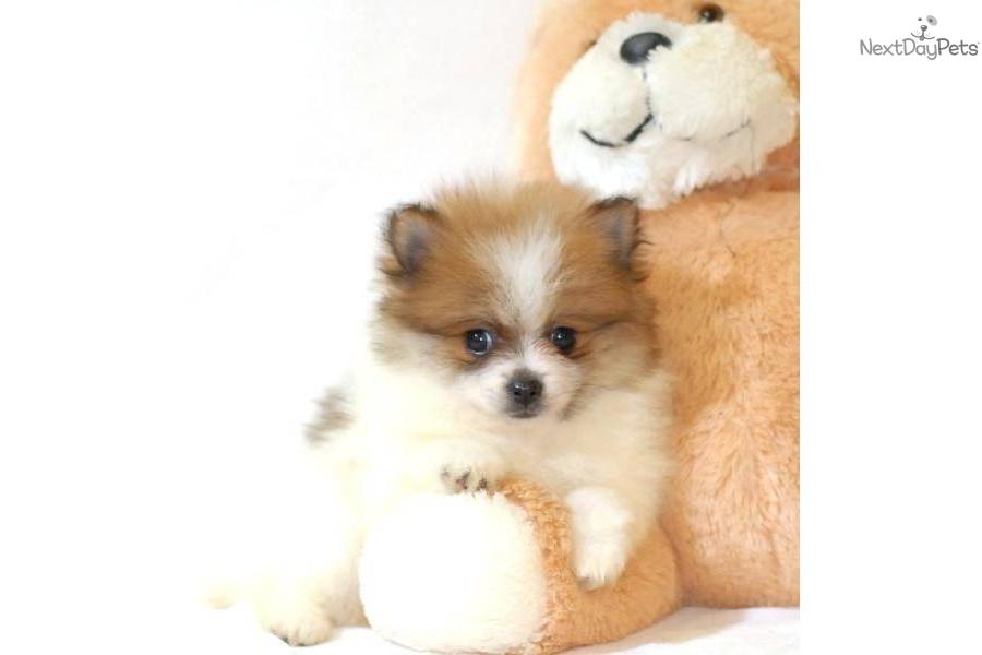 Meet Dougie a cute Pomeranian puppy for sale for $345 ...