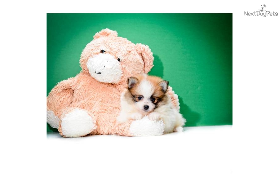 Meet Teacup Dwayne a cute Pomeranian puppy for sale for ...