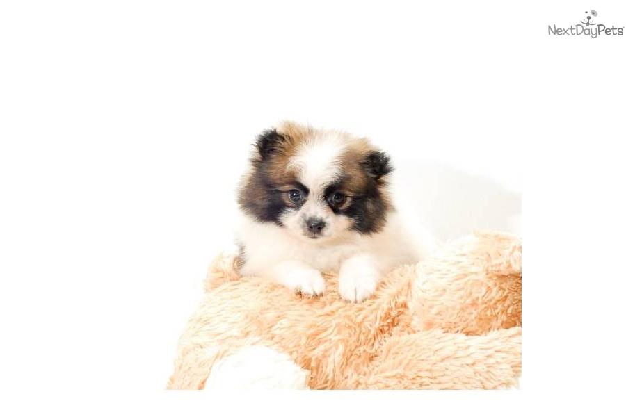Pomeranian puppy for sale near Columbus, Ohio   b3a3149a-cd71
