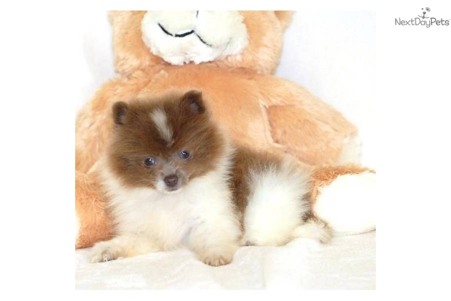Meet Lil Lolo a cute Pomeranian puppy for sale for $395 ...