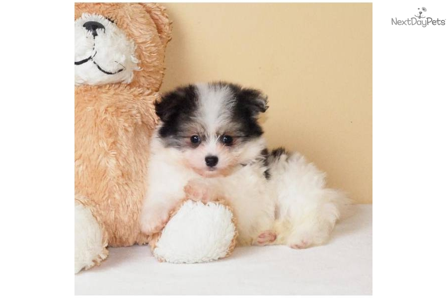 meet michael a cute malti pom