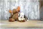 MINI Nick,www.premierpups.com | Puppy at 7 weeks of age for sale