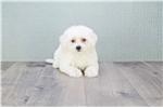 Picture of Roy, WWW.PREMIERPUPS.COM