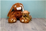 Picture of Teacup Chewy, WWW.PREMIERPUPS.COM