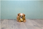 Picture of Chewy, www.premierpups.com