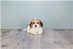 Picture of Carly, WWW.PREMIERPUPS.COM