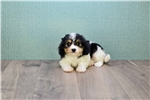 Picture of Kate, WWW.PREMIERPUPS.COM
