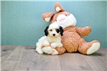 Picture of a Cavachon Puppy