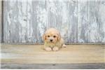 Picture of Alba, WWW.PREMIERPUPS.COM