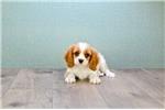Picture of WILLIAM, WWW.PREMIERPUPS.COM