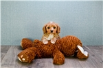 Picture of Rusty, WWW.PREMIERPUPS.COM