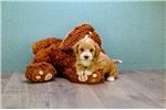Picture of Rusty, WWW.PREMIERPUPS.COM