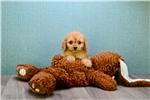 Picture of Redman, www.premierpups.com
