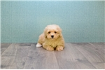 Malti Pom - Maltipom for sale