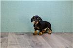 Picture of Peanut, WWW.PREMIERPUPS.COM