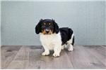 Picture of MINI Snoopy,WWW.PREMIERPUPS.COM