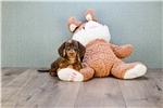 Picture of MINI Lucy, WWW.PREMIERPUPS.COM