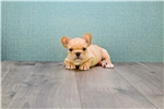 Picture of Pierre, WWW.PREMIERPUPS.COM