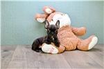 Picture of Pepper, www.premierpups.com