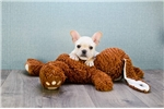 Picture of Sully, WWW.PREMIERPUPS.COM