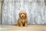 Picture of MINI Scarlett, WWW.PREMIERPUPS.COM