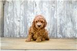 Picture of MINI Skylar,WWW.PREMIERPUPS.COM
