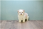 Picture of DAISY, WWW.PREMIERPUPS.COM