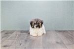 Picture of Petunia, WWW.PREMIERPUPS.COM