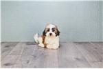 Picture of Daisy,WWW.PREMIERPUPS.COM