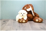 Picture of Teacup Dolly, WWW.PREMIERPUPS.COM