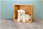 Picture of Teacup Madison, WWW.PREMIERPUPS.COM