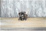 Picture of TEACUP Todd, WWW.PREMIERPUPS.COM