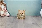 Picture of Teacup Tara, WWW.PREMIERPUPS.COM