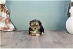 Picture of Teacup Johnny, WWW.PREMIERPUPS.COM