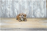 Picture of TEACUP Ted, WWW.PREMIERPUPS.COM
