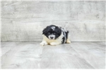 Poma-Poo - Pomapoo for sale