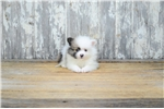 Picture of TEACUP Polina, WWW.PREMIERPUPS.COM