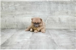 Yorkshire Terrier - Yorkie for sale
