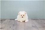 Picture of TEACUP Cream, WWW.PREMIERPUPS.COM